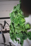 Copy_of_food_freshener_spinach